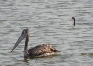 Spot-Billed Pelican and Darter