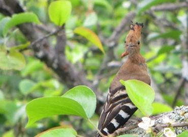 Common_Hoopoe