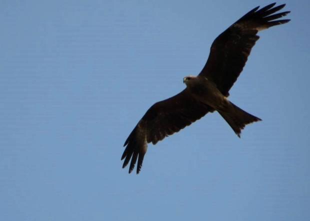Black Kite, Ponneri