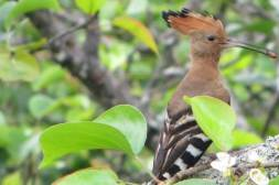 Common Hoopoe, Adyar