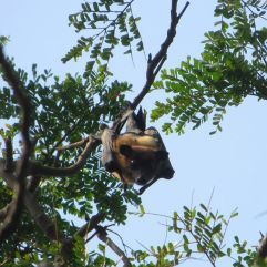 Fruit Bats, Theosophical Society - Adyar