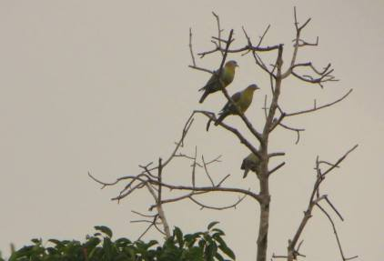 Yellow-Footed Doves, Masingudi