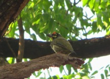 Coppersmith_barbet