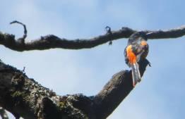Orange Minivet, Vattakanal