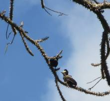 Heart-Spotted Woodpeckers, Thekkady
