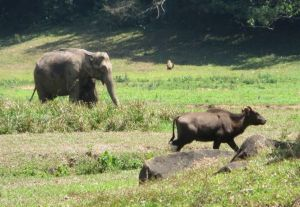 Indian elephant / gaur calf