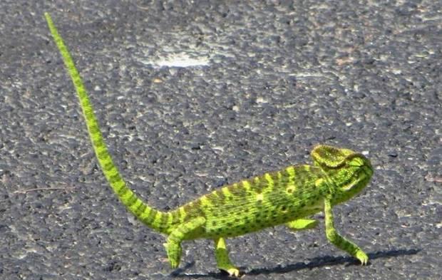 Indian Chameleon, Gudalur
