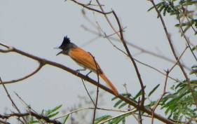 Asian Paradise Flycatcher, Ponneri