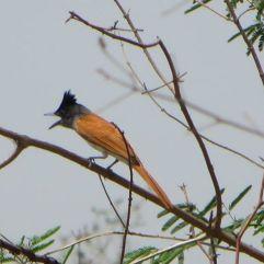 Asian Paradise Flycatcher, Ponneri