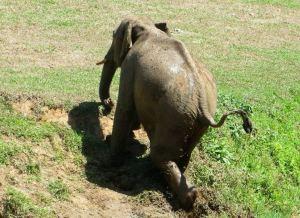 Indian Elephant, Thekkady