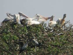 Spot-Billed Pelicans and Asian Openbill Storks