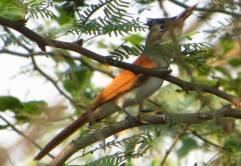 Asian Paradise Flycatcher - Female, Ponneri