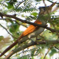 Asian Paradise Flycatcher - Female, Ponneri