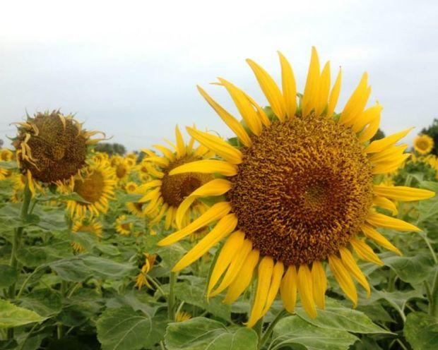 Sunflower field, Yercaud foothills