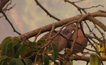 Spotted Doves, Vattakanal