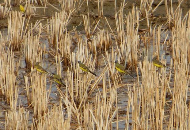 Grey Wagtails, Ponneri
