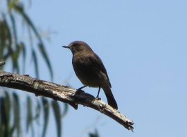 Pied Bush Chat (male)