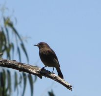 Pied Bush Chat (male)