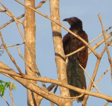 Greater Coucal, Ponneri
