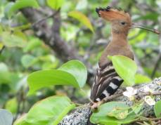 Common Hoopoe, Theosophical Society