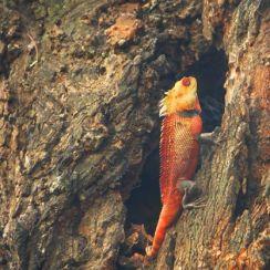 Oriental Chameleon