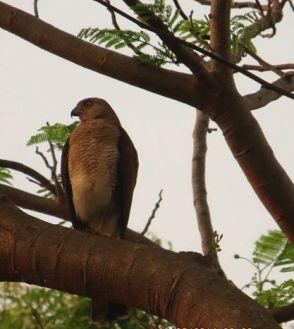 Shikra, Vedanthangal