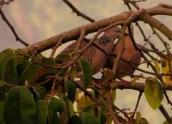 Spotted Doves, Vattakanal