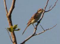 Brown Shrike, Vedanthangal