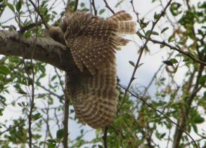 Spotted Owl, Vedanthangal