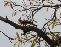 Common Hoopoe, Vedanthangal