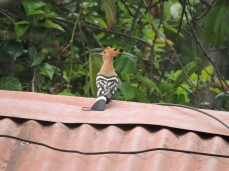 Common Hoopoe, Kodaikanal