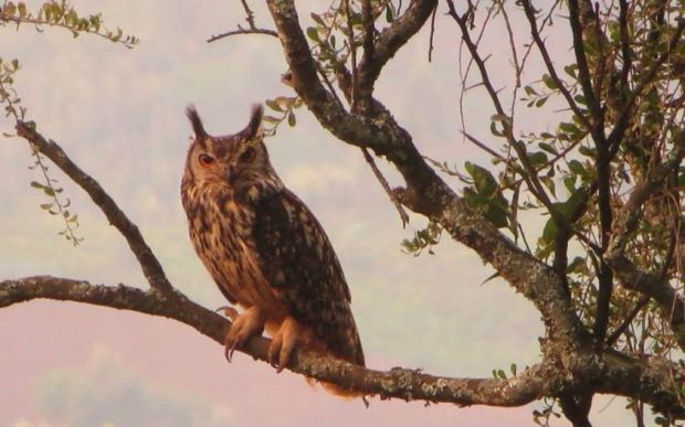 Indian  Eagle Owl, Nilgiri Range