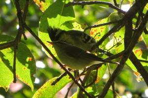 Black-Lored Tit & Blyth's Reed Warbler, Kodaikanal