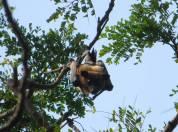 Fruit Bat, Theosophical Society - Adyar