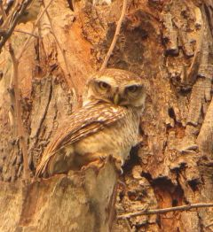 Spotted Owl, Theosophical Gardens