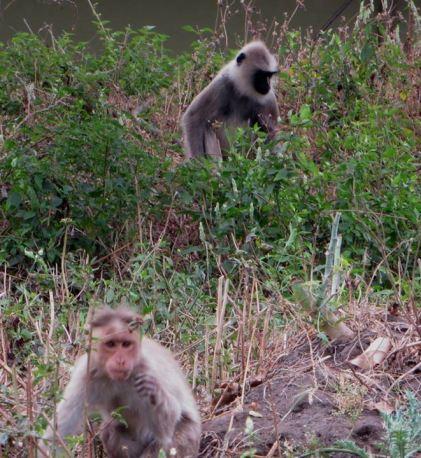 Bonnet Macaque & Gray Langur