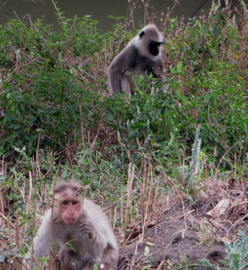 Bonnet Macaque & Gray Langur