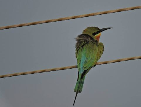 Blue-Tailed Bee-Eater, Pallikaranai