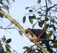 Malabar Giant Squirrel, Vattakanal