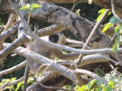 Grey Langur, Megamalai