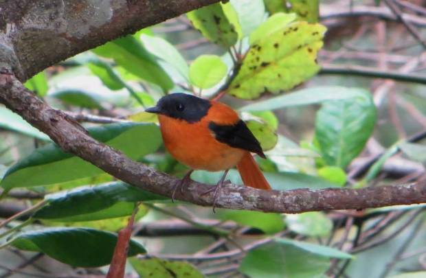 Black and Orange Flycatcher, Vattakanal