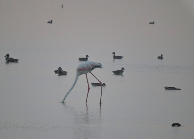 Greater Flamingos - Pulicat