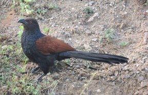 Greater Coucal, East Coast Road