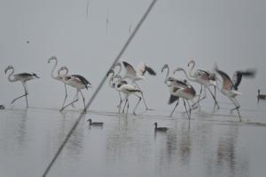 Greater Flamingos, Pulicat Lake