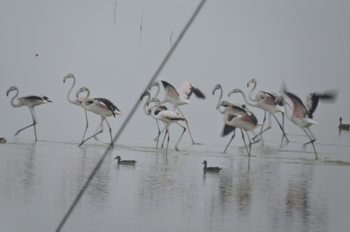 Greater Flamingos - Pulicat