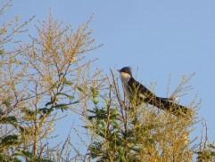 Jacobin Cuckoo, Vedanthangal