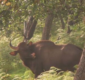 Indian Gaur, Vattakanal
