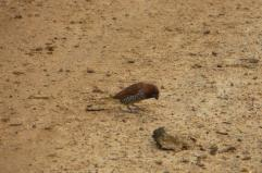 Scaly-Breasted Munia, Ponneri