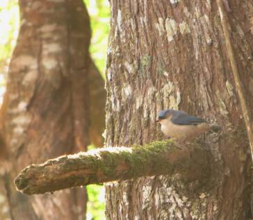 Velvet Fronted Nuthatch