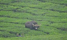 Indian Gaur vs Kid, Valparai